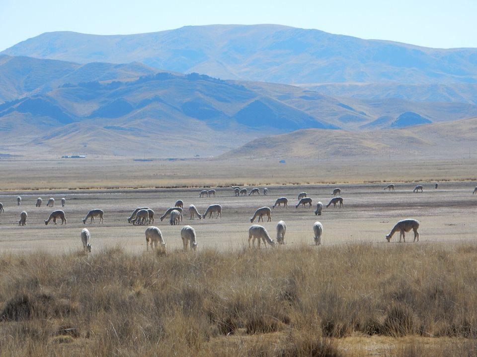 Lamas as far as the eye could see