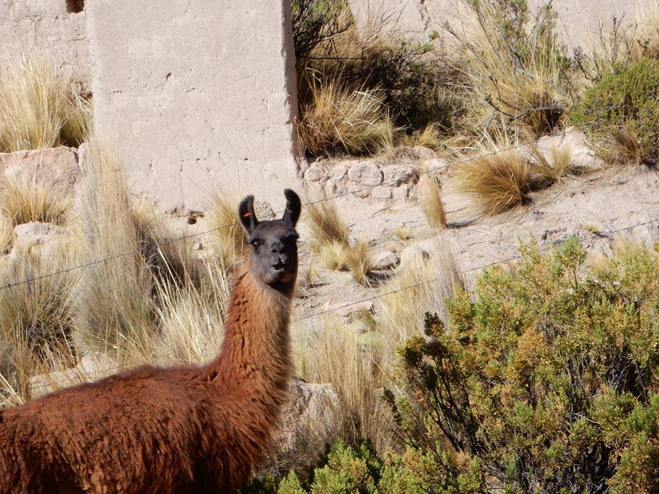 Cheeky Lama
