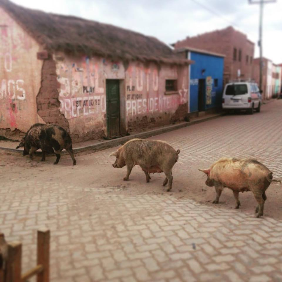 Pigs crossing the road just before it started snowing